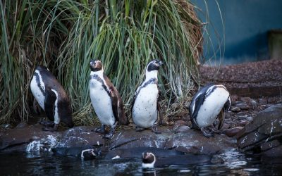 Penguin Awareness weekend at Twycross Zoo